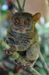 TARZIJ - najmanjši primat na svetu, velja za ogroženo vrsto