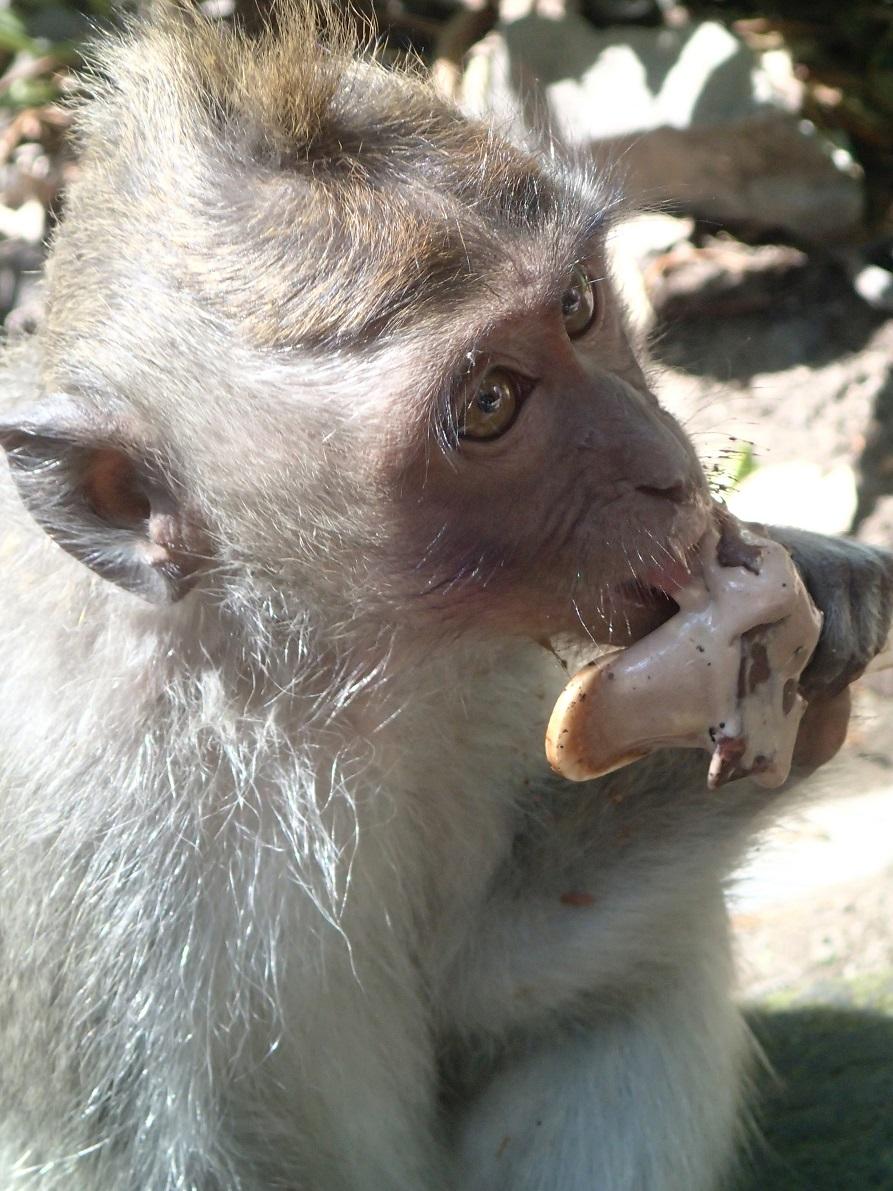 """Opica v """"opičjem gozdu"""" je od obiskovalca dobila sladoled."""