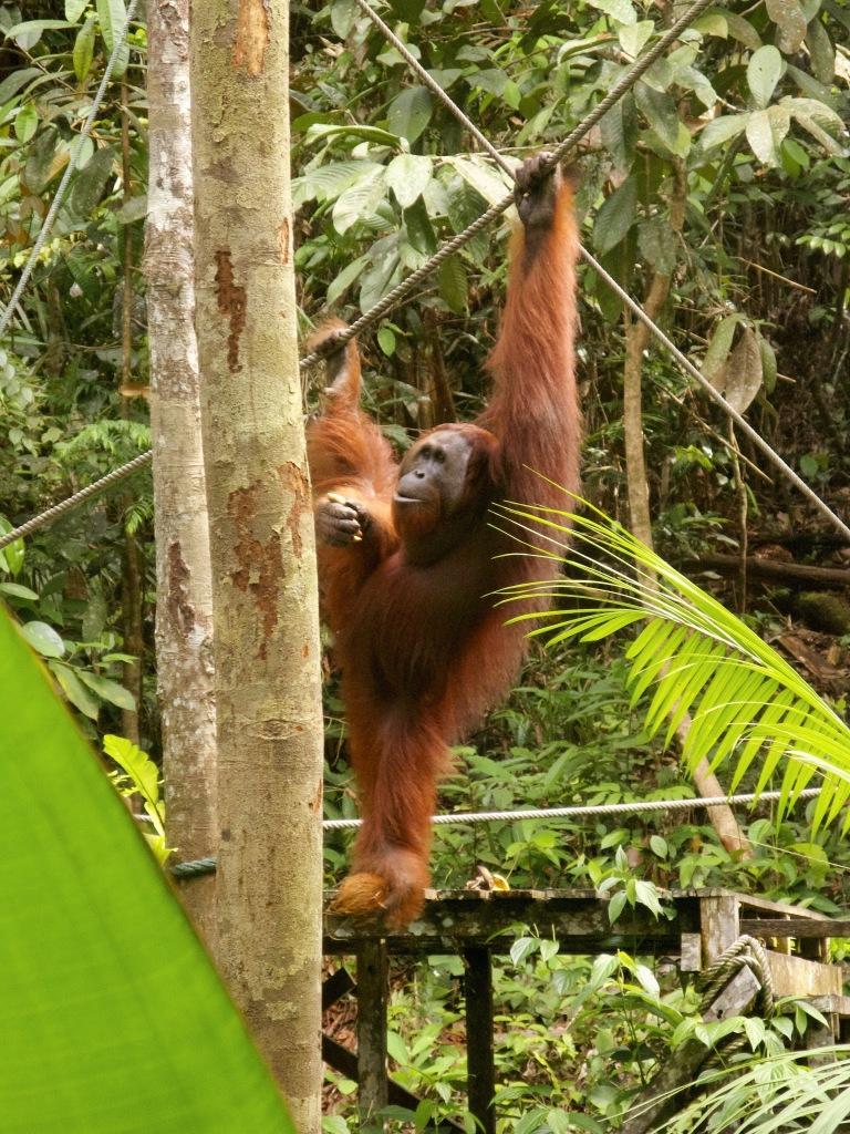 Orangutan v rehabilitacijskem centru Semenggoh