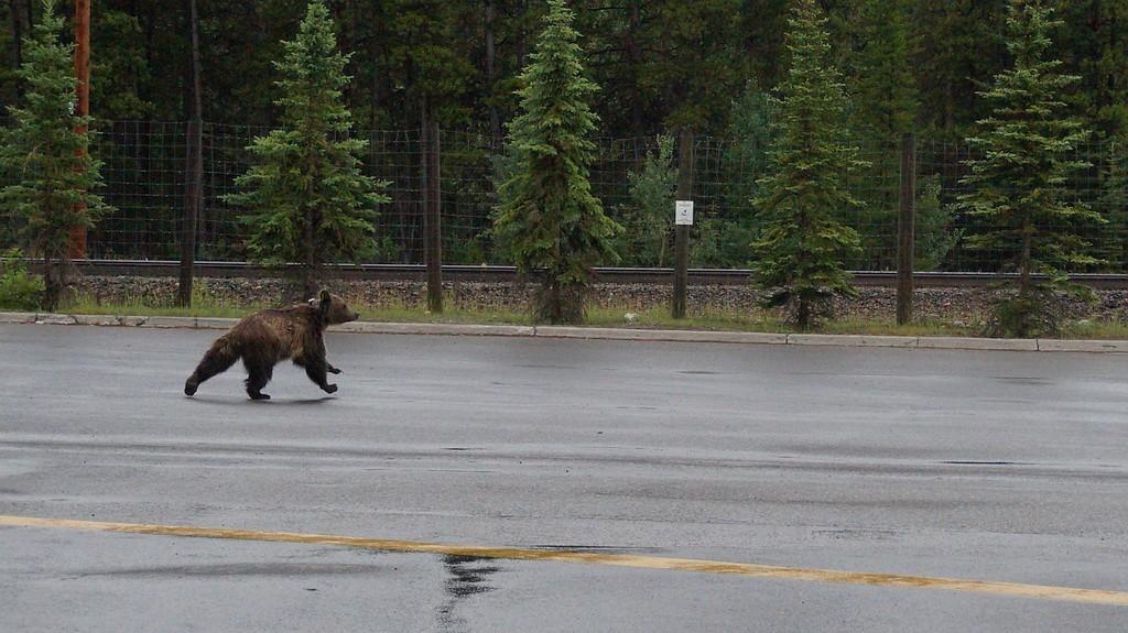 Banff grizli medvedka