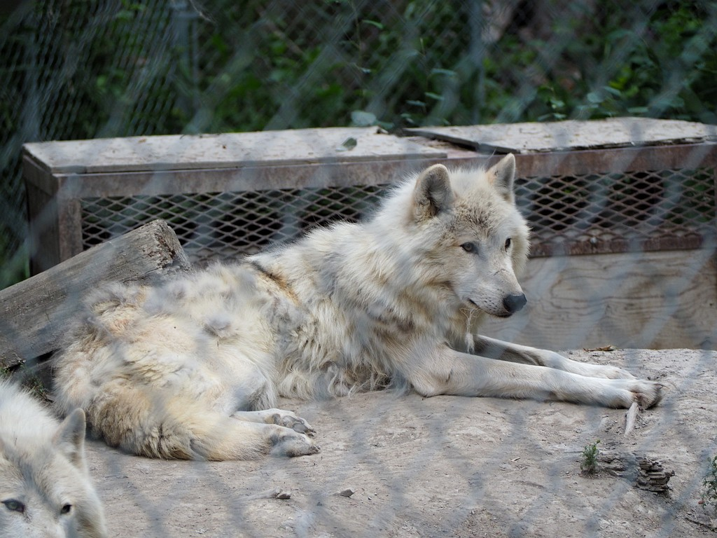 Wolf Centre, Golden